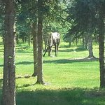 Moose in the yard.