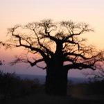 Boabab Sunset