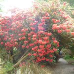 Just one of the many colourful rhododendrons