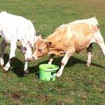 Farmer Jim's calves