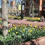 Spring tulips on Pearl Street Mall in Boulder, CO