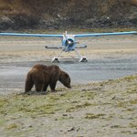 young brown bear and Sea Hawk Float Plane