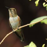 Rufous Hummingbird in the garden area