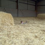 Fun in the straw barn