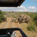 Herd of 30+ Elephants in Hluhluwe-iMfolozi