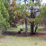 Deer resting in the cool shade of a Juniper tree