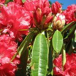 Lovely rhodos amongst the many beautiful flowers in the gardens.