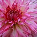 Blooming Dahlias in the garden