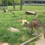 Lots of kangaroos!