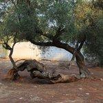 L'ulivo più strano di tutto l'oliveto del residence