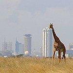 Elegant Giraffe in Nairobi National Park