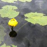Water Lillies in the Lagoon on Big Lake