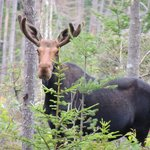 spotted this big bull moose in full velvet right off the camp road in early morning
