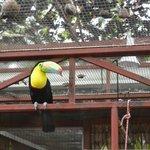 Keel Billed Toucan with injured beak