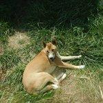 Australian Wild Dog