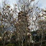 Pagoda behind a Magnolia Tree