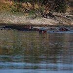 Hippos lounging