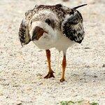 Skimmer chick wondering where dinner is