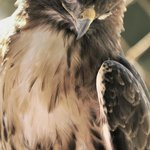 Red Winged Hawk, injured long agon