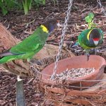 The backyard parrots