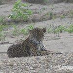 Jaguar on a gravel bar, 7/21/13