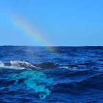 Humpback exhales and creates a rainbow in its mist.