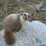 One of a family of 6 Marmots living nearby