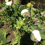 Gogeous Cala Lillies