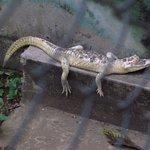 jacaré albino no zoológico da UFMT