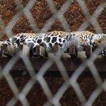 Onça no zoológico da UFMT