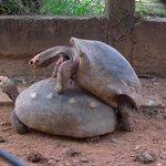 Tartarugas namorando no zoológico da UFMT
