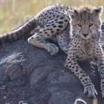 A young Cheetah we came across