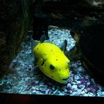 Yellow Puffer Fish in Seagate Fish Tank