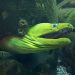 Moray Eel in Seagate Fish Tank