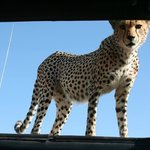 Cheetah on our roof!