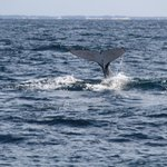 Taillash of Humpback  whale
