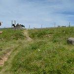 放牧されている牛
