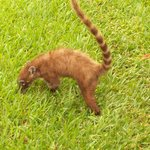 Coati so cute ...one of the many animals roaming the grounds