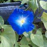 Morning Glory Flower at the Morning Glory Inn
