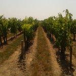 The wonderful vineyards!