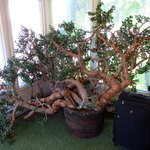 This is an amazing Jade tree in the lobby.