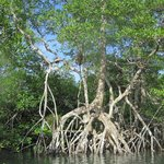 Banyan tree during Kayak excursion