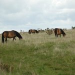 Exmoor ponies on the way to the Tarr Steps