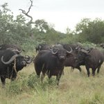 Buffalos in Timbavati