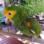 Lorreta de papegaai