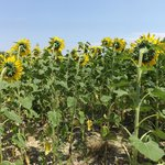 the sunflowers across from the farmhouse