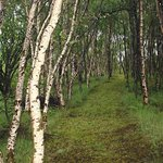 Path through the young birch woods between the B&B and Little Loch Broom.
