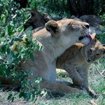 Leoni al Masai Mara