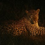 Leopard at Elephant Plains
