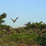 Un pelican